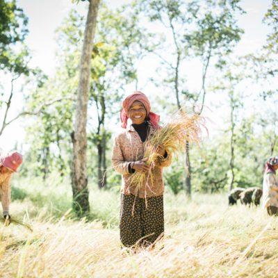 Rice harvesting at Preach Vihear by IVY